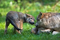 European wolf Canis lupus lupus with pup, puppy