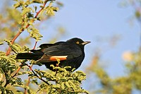 African red-winged starling (Onychognathus morio), Namibia, Africa