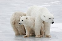 Polar Bear family (Ursus maritimus), Churchill, Manitoba, Canada