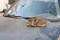Cat sleeping on the hood of a dirty car in Myrtos, Crete, Greece, Europe