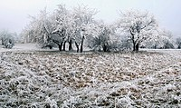 Group of trees covered in frost, Eichstaett, Bavaria, Germany, Europe