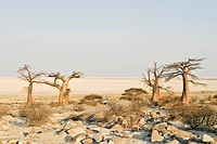 Baobabs or Adansonia digitata on Kubu Island (Lekubu) in the south west of Sowa Pan, Makgadikgadi pans, Botswana, Africa