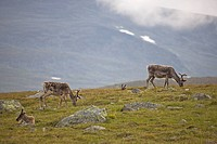 Domestic Reindeer Rangifer tarandus near Jotunheimen, Valdresflya, Norway, Scandinavia, Europe