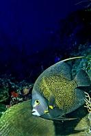 French Angelfish (Pomacanthus paru), Bahamas, Caribbean, Americas