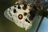 Mountain Apollo butterfly (Parnassius apollo)