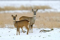 Roe deers in snow, Capreolus capreolus, Winter, Germany
