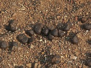Pile of fresh cow Calf´s dung in dry grass cow dung is used as fuel for cooking fires in South Asia Shiroli, Roha, Alibaug, Maharashtra, India