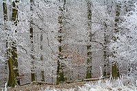 Frost-covered trees at the forest's edge, Westerwald, Hesse, Germany, Europe
