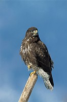 Common Buzzard (Buteo buteo), adult perched on post.