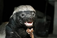 Honey Badger or Ratel (Mellivora capensis) is eating the rest of a t-bone steak in the night, Moremi Nationalpark, Moremi Wildlife Reserve, Okavango D...