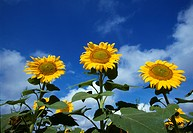 Agriculture _ Sunflowers, grown for oilseed production / KS.