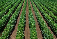 Agriculture _ Rows of late mid_growth soybean plants / MS.