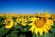 Agriculture _ Field of maturing sunflowers / ND