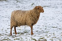 Coburg Fuchsschaf, breed of domestic sheep Ovis gmelini aries