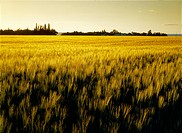 Agriculture _ Field of maturing barley in early morning light / Canada _ MB, Dugald
