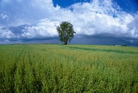 Agriculture _ Field of maturing oats with a cottonwood tree, grain bins and cumulonimbus clouds in the background / Canada _ Manitoba, nr. Dugald