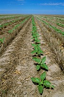 Agriculture _ Field of early growth no_till oilseed sunflowers growing in wheat stubble / KS