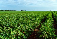 Agriculture _ Field of mid growth cotton at full bloom stage, nearing canopy closure / MS.