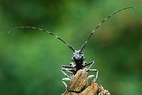 Capricorn Beetle (Cerambyx scopolii), Schwaz, Tyrol, Austria, Europe