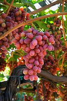 Agriculture _ Clusters of mature, harvest ready, Crimson Seedless table grapes hang from the vines in late summer / CA _ Tulare County