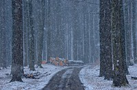 Snowfall in spruce forest, seasons
