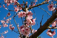 Agriculture _ Fully opened nectarine blossoms on the tree / Northern CA _ Tehama County, nr. Corning.