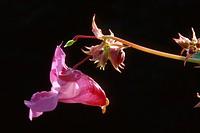 Himalayan Balsam (Impatiens glandulifera), Tyrol, Austria, Europe