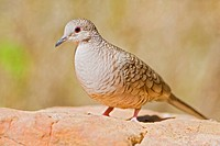 Inca Dove Scardafella inca perched on a red rock in the Rio Grande Valley of Texas, USA