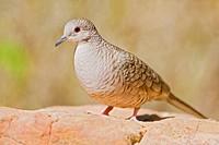 Inca Dove Scardafella inca perched on a red rock in the Rio Grande Valley of Texas, USA