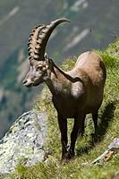 Male Alpine Ibex (Capra ibex), Hohe Geige, Pitztal, Tyrol, Austria, Europe