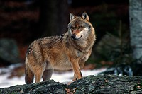 Gray Wolf or Timber Wolf (Canis lupus), Bavarian Forest National Park, Bavaria, Germany, Europe