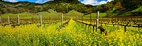 Agriculture _ Wine grape vineyard in late Winter dormant period with Mustard in full bloom / CA _ Napa Valley