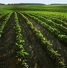 Agriculture _ Large rolling field of early growth conventionally tilled soybeans / Canada _ Ontario