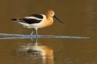 American avocet Recurvirostra americana in farm pond at Moses Lake area in Washington, USA