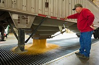 Agriculture _ Ethanol production plant. A worker unloads corn from a grain truck / Iowa, USA