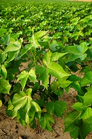 Agriculture _ Mid growth, pre bloom stage cotton plants / Mississippi, USA