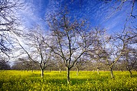 Agriculture _ Dormant walnut orchard in Winter with blooming mustard carpeting the orchard floor / near Gridley, California, USA.