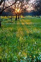 Agriculture _ Dormant walnut orchard in Winter with the setting sun filtering through the trees and wildflowers growing on the orchard floor / Sacrame...