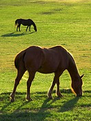 Livestock _ Two horses backlit by the sun graze on a green pasture / near Leesville, California, USA