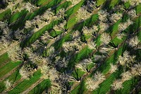 Agriculture _ Aerial view of an almond orchard in Winter in which nearly every tree has been blown over by heavy winds after heavy rain. This orchard ...