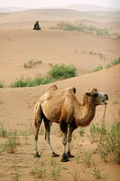 Asiatic camel in the Tengger desert Ningxia China
