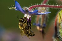 Agriculture _ A nectaring honey bee Apis mellifera working on a pendant blue flower / Michigan, USA