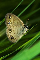 Agriculture _ Little wood satyr Megisto cymela butterfly among grasses / Michigan, USA