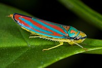 Agriculture _ Scarlet_and_green leafhopper, aka. Red_banded leafhopper Graphocephala coccinea adult on a leaf / Michigan, USA