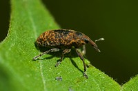 Agriculture _ Canadian thistle bud weevil Larinus planus on a leaf / Michigan, USA