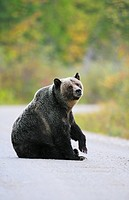 Grizzly bear Ursus arctos horribilis on a British Columbia Forest Service Road in autumn near Nakusp in the Kootenays, British Columbia, Canada