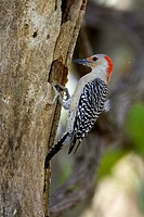 Red-bellied Woodpecker (Melanerpes carolinus), Everglades National Park, Florida, USA