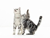 British Shorthair cat and kitten _ cut out