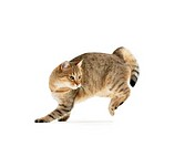 domestic cat _ jumping _ cut out