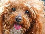 Toy poodle _ portrait